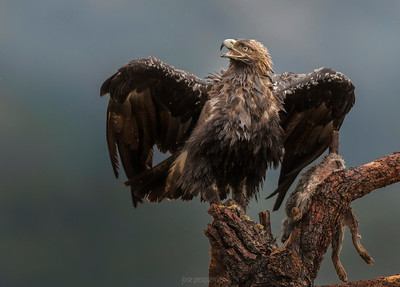 Imperial Eagle (Spain) (Aquila adalberti)
