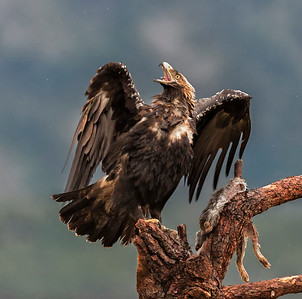 Imperial Eagle (Spain)