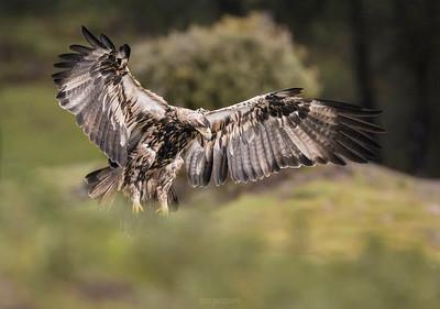 Imperial Eagle (Spain)