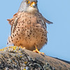 Wildlife bird images. Lesser Kestrel series. Standing on the roof.
