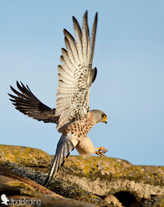 Wildlife bird images. Lesser Kestrel series. Flights.