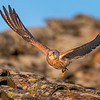 Wildlife bird images. Lesser Kestrel series. Flying over the roof.