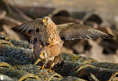 Wildlife bird images. Lesser Kestrel series. Mating.