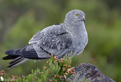 Wildlife bird images. Montagu's Harrier. Male. Standing on the rock.