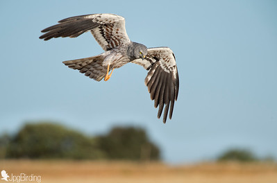 Wildlife bird images. Montagu's Harrier series in flight