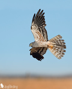 Wildlife bird images. Montagu's Harrier  series. Flights catching prey.