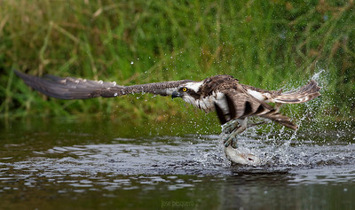 Wildlife, bird, images., Osprey, series., Flights, and, pure, action, shots, all, around, a, pond, while, fishing, rainbow, trouts.