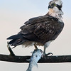 Wildlife bird images. Osprey standing on the top of a tree eating its catch. Image taken in North of Spain.