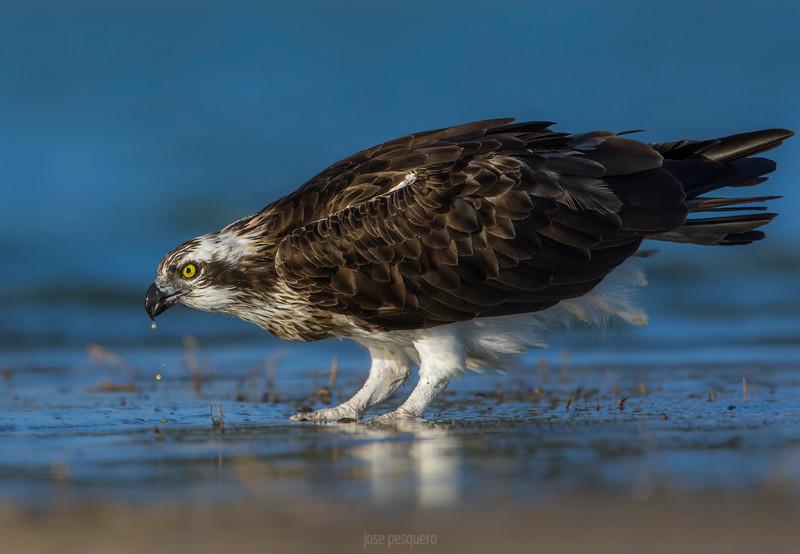Osprey - on the ground
