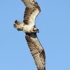 Wildlife bird images. Osprey in flight.