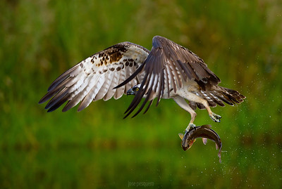 Wildlife bird images. Osprey series. Flights and pure action shots all around a pond while fishing rainbow trouts.