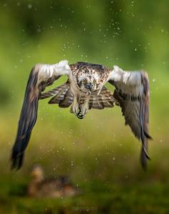 Osprey - Scotland 2014