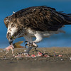 Osprey - eating on the ground