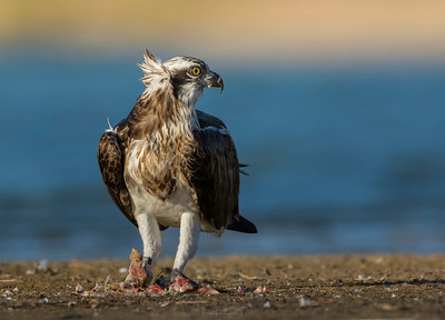Osprey - on the ground
