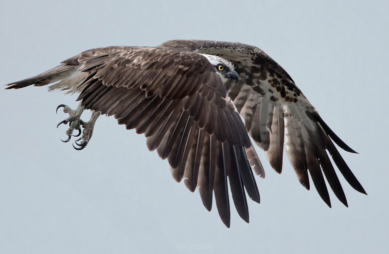 Wildlife bird images. Osprey in flight. Image taken in North of Spain.