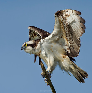 Wildlife bird images. Osprey standing on the top of a tree. Image taken in North of Spain.