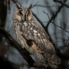 Long-eared Owl. Image taken in Hungary.<br /> The Long-eared Owl is a medium sized owl, 31–40 cm in length with an 86–100 cm  wingspan and a body mass of 178–435 g. It has erect blackish ear-tufts, which are positioned in the center of the head. The ear-tufts are used to make the owl appear larger to other owls while perched. The female is larger in size and darker in coloration than the male. The Long-eared Owl's brownish feathers are vertically streaked. Tarsus and toes are entirely feathered. Eye disks are also characteristic in this species.