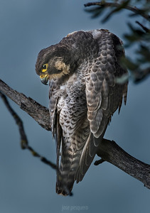 Peregrine Falcon (female)