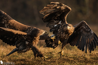 White-tailed Eagle - Polland