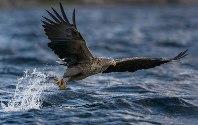 White-tailed eagle. Norway series.