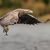 White-tailed eagle. Norway series.
