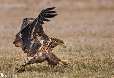 White-tailed eagle. Hungary series.