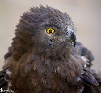 Short-toed Snake Eagle (Circaetus gallicus) - Portrait. Image taken in captivity.