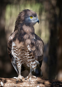 Short-toed Snake Eagle (Circaetus gallicus) perched on a trunk. Image taken in captivity.