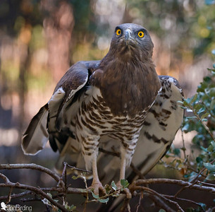 Short-toed Snake Eagle (Circaetus gallicus) perched on an ilex. Image taken in captivity.