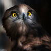 Short-toed Snake Eagle (Circaetus gallicus) - Portrait. Image taken in captivity.