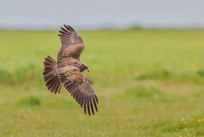 Western Marsh Harrier in flight over the green ground.