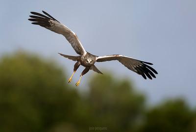 Western Marsh Harrier (male) in flight