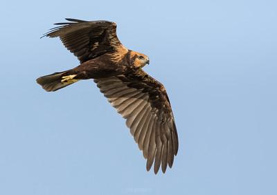 Western Marsh Harrier (female) in flight