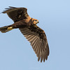 Western Marsh Harrier (female) in flight