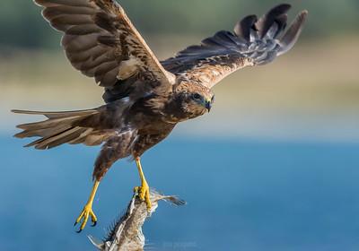 Western Marsh Harrier in flight