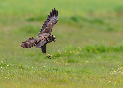 Western Marsh Harrier in flight over the green ground.
