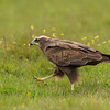 Western Marsh Harrier standing on the green ground.