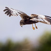 Western Marsh Harrier (male) in flight