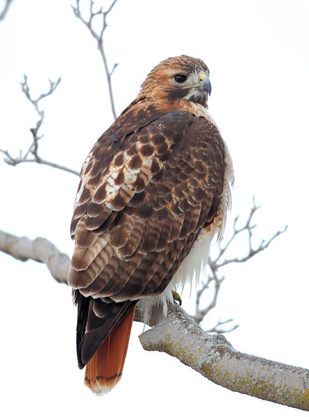 RP-035: Red-tailed Hawk