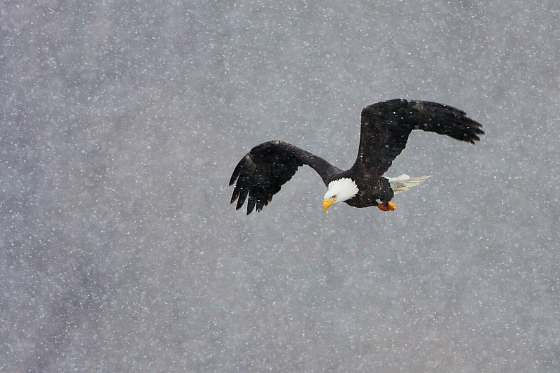 RP-007: Bald Eagle in Snow Squall