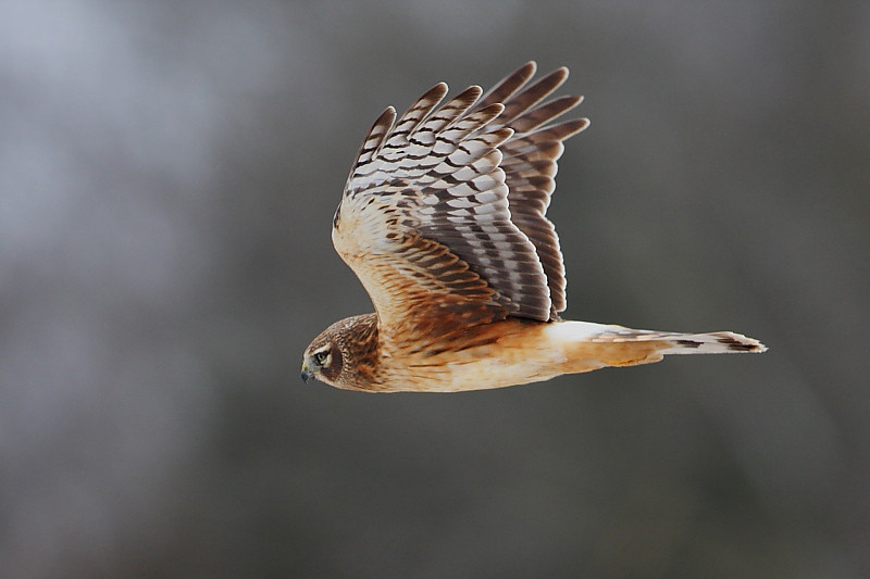 RP-015: Northern Harrier