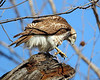 RP-030: Red-tailed Hawk (Immature)