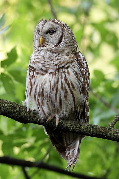 Barred Owl (RP 023)