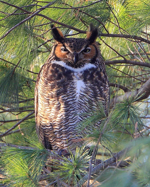 RP-028: Great Horned Owl