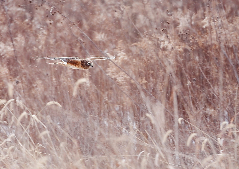 Northern Harrier (RP 010)