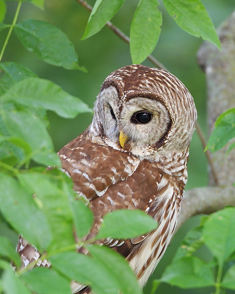 RP-022: Barred Owl