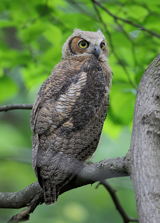 RP-039: Great-horned Owl (Immature)
