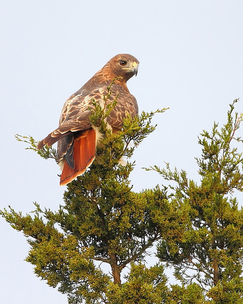 RP-019: Red-tailed Hawk