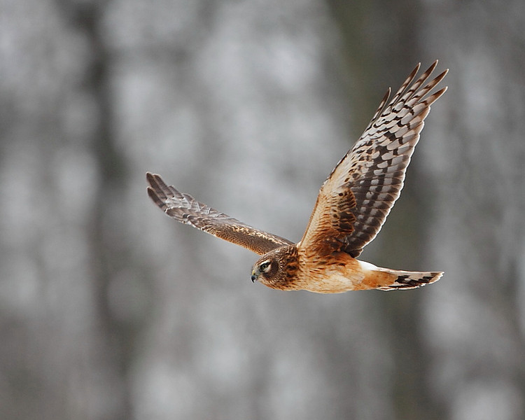 RP-014: Northern Harrier