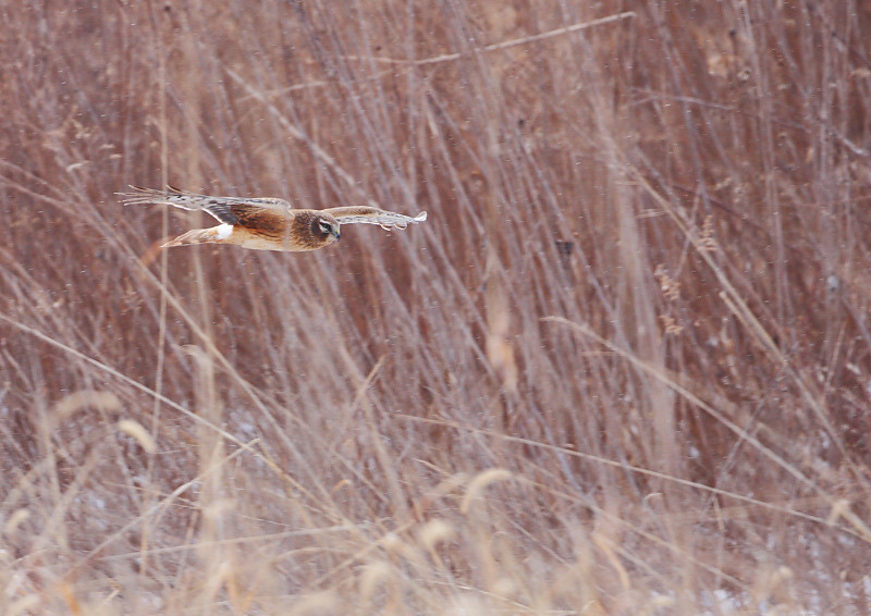 RP-011: Northern Harrier